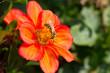 Leinwanddruck Bild - Wildbiene auf Blüte  -  Gelb gebänderte Furchenbiene (Halictus) auf Dahlien Blüte