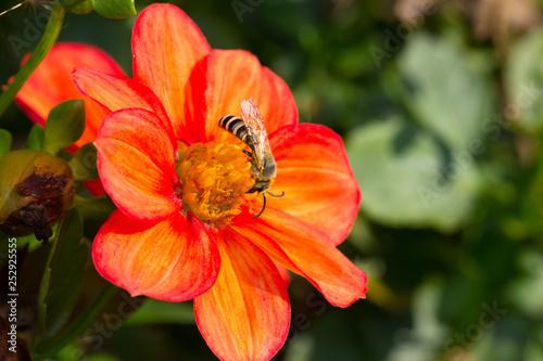 Leinwanddruck Bild Wildbiene auf Blüte  -  Gelb gebänderte Furchenbiene (Halictus) auf Dahlien Blüte