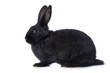 Leinwanddruck Bild - Black rabbit on white background