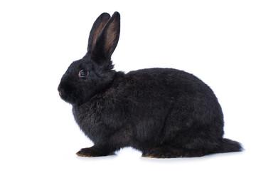 Black rabbit on white background © DoraZett