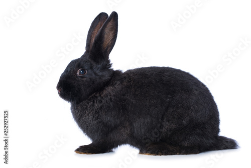 Leinwanddruck Bild Black rabbit on white background