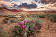 Cactus flowers in the Nevada Desert, USA. - 252931785