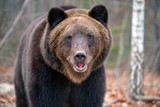 Fototapeta Fototapety ze zwierzętami  - Big bear (Ursus Arctos) in forest © byrdyak