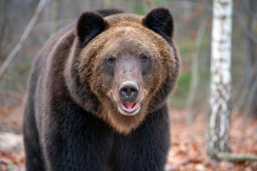 Big bear (Ursus Arctos) in forest