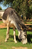 Domestic animals - a donkey grazing at a farm