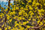 japanese cornelian Blooming in Spring, Haeundae, Busan, South Korea, Asia