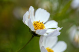 Fototapeta Kosmos - White Cosmos with Golden Stamen © Wendy