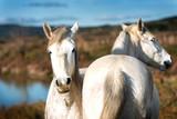 Fototapeta Konie - White horses in Camargue © beatrice prève