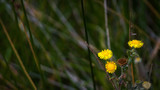 Fototapeta Dmuchawce - Flores de verano de colores vivos © davidjimenezmoure