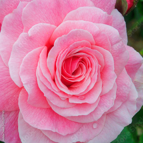 Rose Portrait. - 252973765