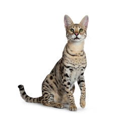 Cool young adult Savannah F1 cat, sitting half side ways facing front. Looking above camera with green eyes. Isolated on white background. One paw lifted from ground. Tail behind body.