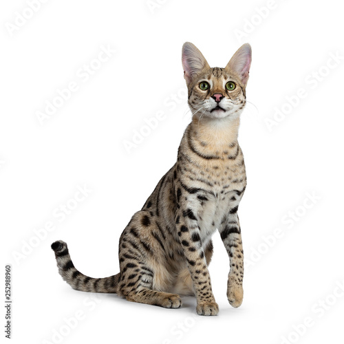 Cool young adult Savannah F1 cat, sitting half side ways facing front. Looking above camera with green eyes. Isolated on white background. One paw lifted from ground. Tail behind body.  © Nynke