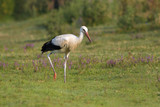 White Ciconia ciconia stork hunting