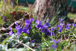 Wild flowers of violа in the forest (Víola odoráta)