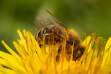 Fototapeta Dmuchawce - Close-up of bee on dandelion flower covered with pollen  © Marie-Beatrice Rich