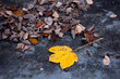 Big yellow colored autumn season maple leaf on the floor in evening light.
