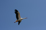 Isolated stork flying with a blue sky