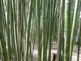 Gravures sur bambous