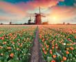 Leinwanddruck Bild - Dramatic spring scene on the tulip farm. Colorful sunset in Netherlands, Europe.