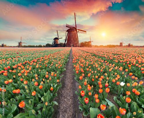 Leinwanddruck Bild Dramatic spring scene on the tulip farm. Colorful sunset in Netherlands, Europe.