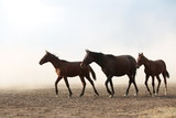 Fototapeta Konie - wild horses and cowboys.kayseri turkey © murat