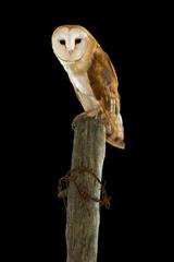Barn Owl. Asio flammeus