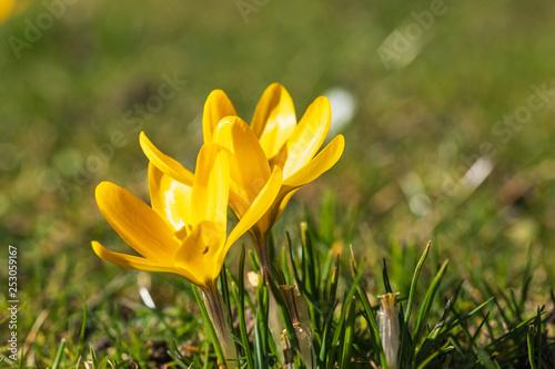 Leinwanddruck Bild Blühende gelbe Krokuse