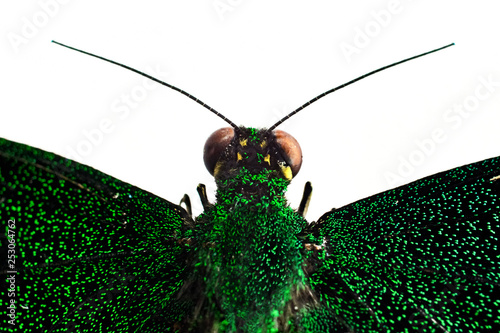 part of green dried butterfly on white background. head with antennae. - 253064762