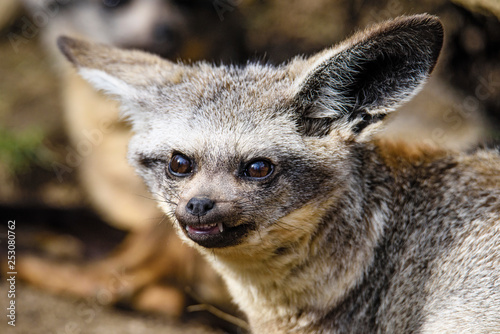 Stare of the bat-eared fox (Otocyon megalotis)