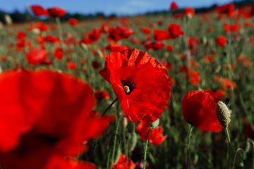 Beautiful red poppies in summer with green grass and sunny weather under the blue sky