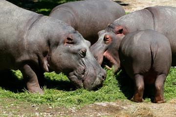 Flusspferd (Hippopotamus amphibius) Gruppe frisst Gras