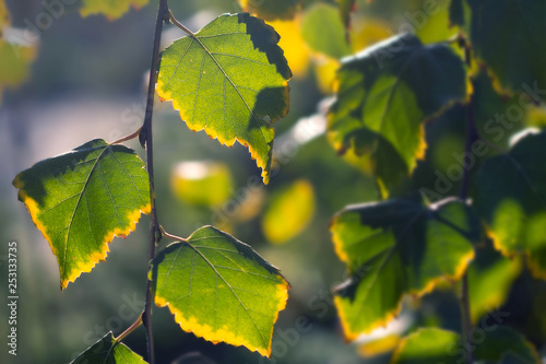 Birch branches with colorful autumn leaves in sunlight. Autumn in the park: yellow green birch tree leaves in the sunlight - 253133735