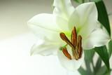 Fiore di giglio su sfondo bianco