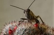 insect - grasshopper closeup sitting on a cactus