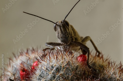insect - grasshopper closeup sitting on a cactus - 253157713