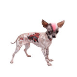 Punk style peruvian hairless and chihuahua mix dog with tattoo and piercing on white