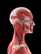 3d rendered medically accurate illustration of a females neck muscles