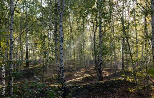 Nature and landscape concept: view of the birch forest in the morning.