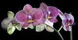 beautiful orchids are highlighted on a dark background