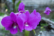 Orchid Deep Pink