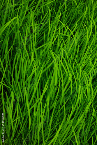 green rice background - 253216573
