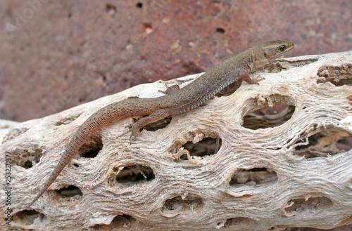 Desert Night Lizard (Xantusia vigilis)