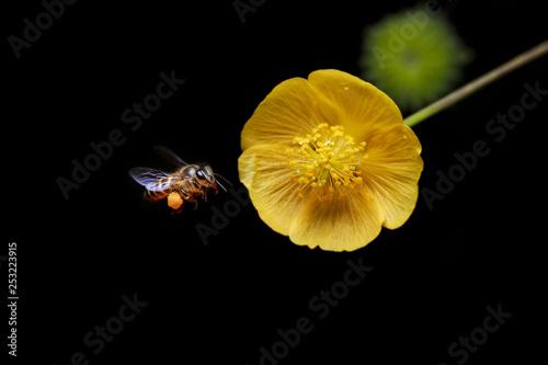 Leinwandbild Motiv A bee flying into the yellow flowers for honeydew.