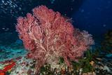 big gorgonia diving indonesia