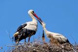 Weißstorch füttert Jungvogel