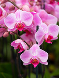 closeup of pink orchids in dutch greenhouse