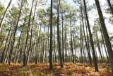 Fototapeta Las - Forêt de pins dans les Landes © Marie Capitain