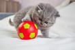 little kitten plays with a ball