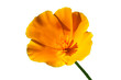 California poppy (Eschscholzia californica) cut out and isolated on a white background
