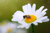 White big daisy flowers amd bee isolated. Flowers background.